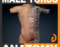 human male torso anatomy 3d model max obj 3ds fbx c4d lwo lw lws