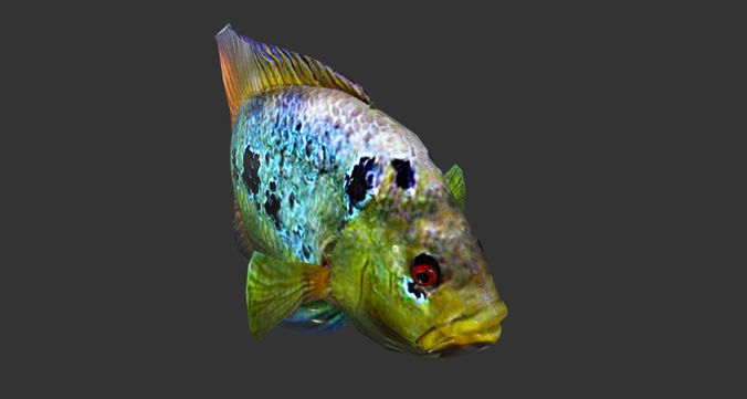 Cichlid Fish   3d Asset Low Poly Rainbow Cichlid Fish Animated Game