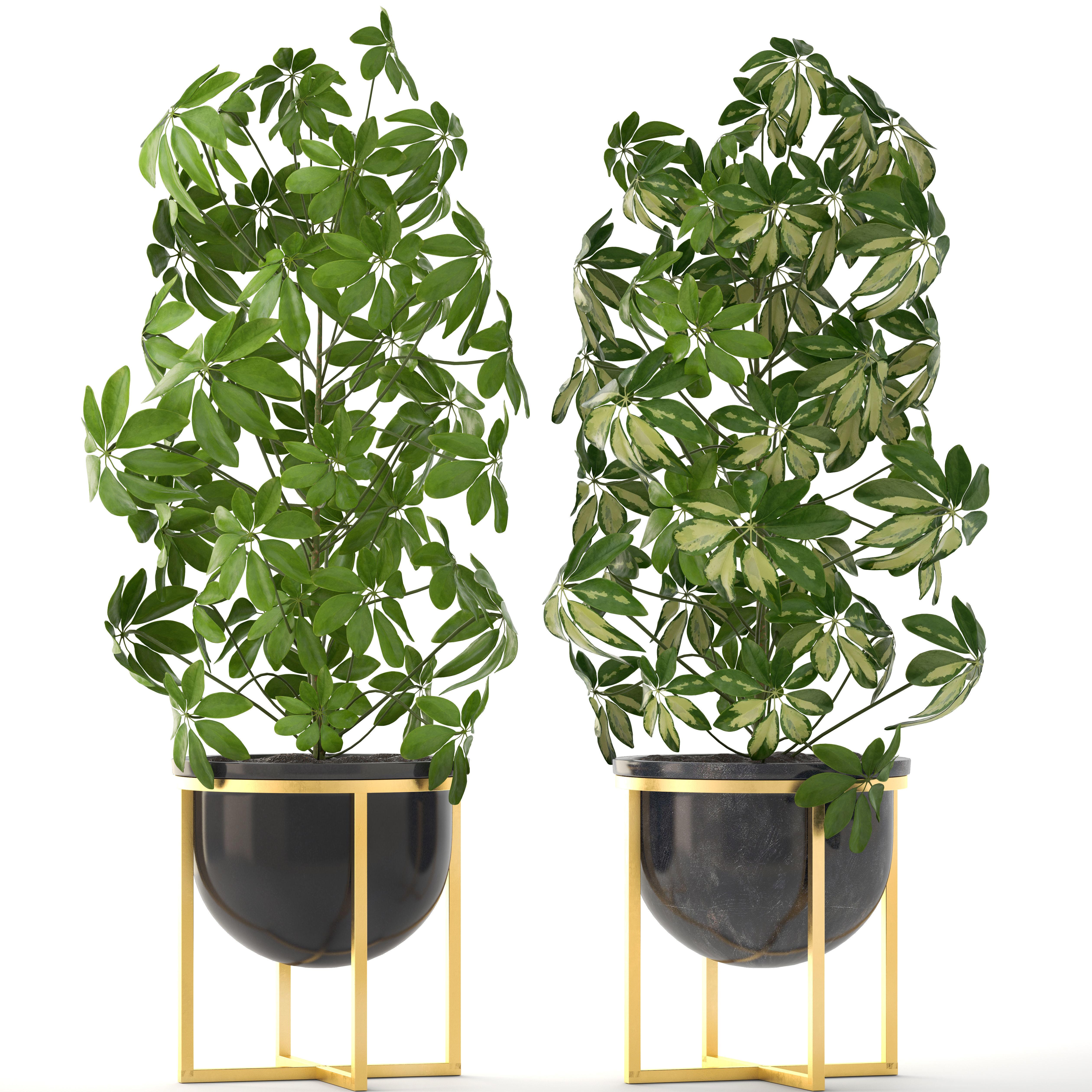 schefflera arboricola 3d model cgtrader