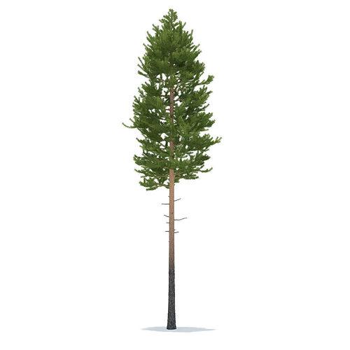 pine height 20 metre 3d model max obj mtl fbx 1
