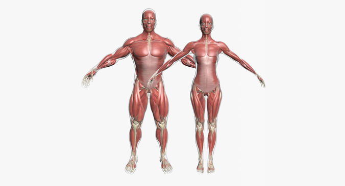Male And Female Muscle Anatomy Combo 3d Cgtrader