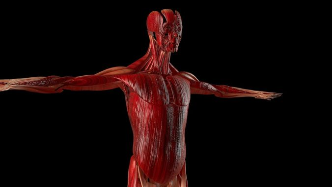 Muscular System - Human Body Collection 3D model