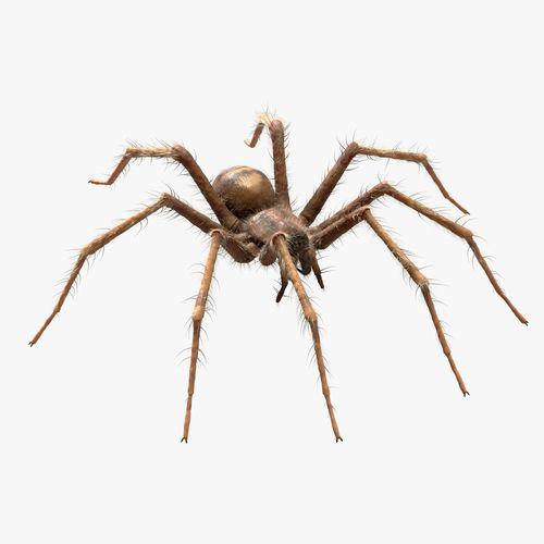 domestic spider - tegenaria domestica  3d model obj mtl fbx c4d blend 1