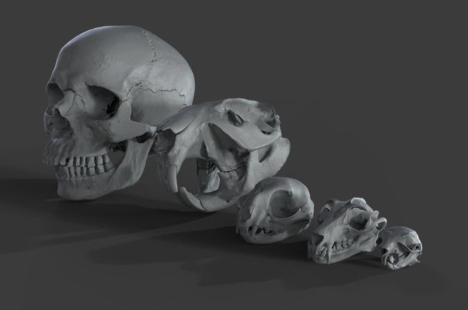 scanned skulls various  3d model obj ztl 1