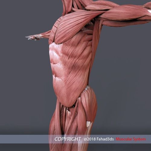 Male Female Muscular System 3d Asset Cgtrader