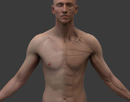 3D model Male Ecorche system