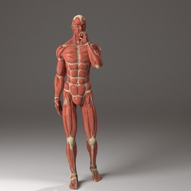 3D model Anatomy of a man | CGTrader