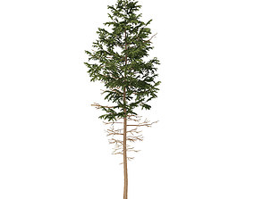 3D model Pine Tree 7point7m