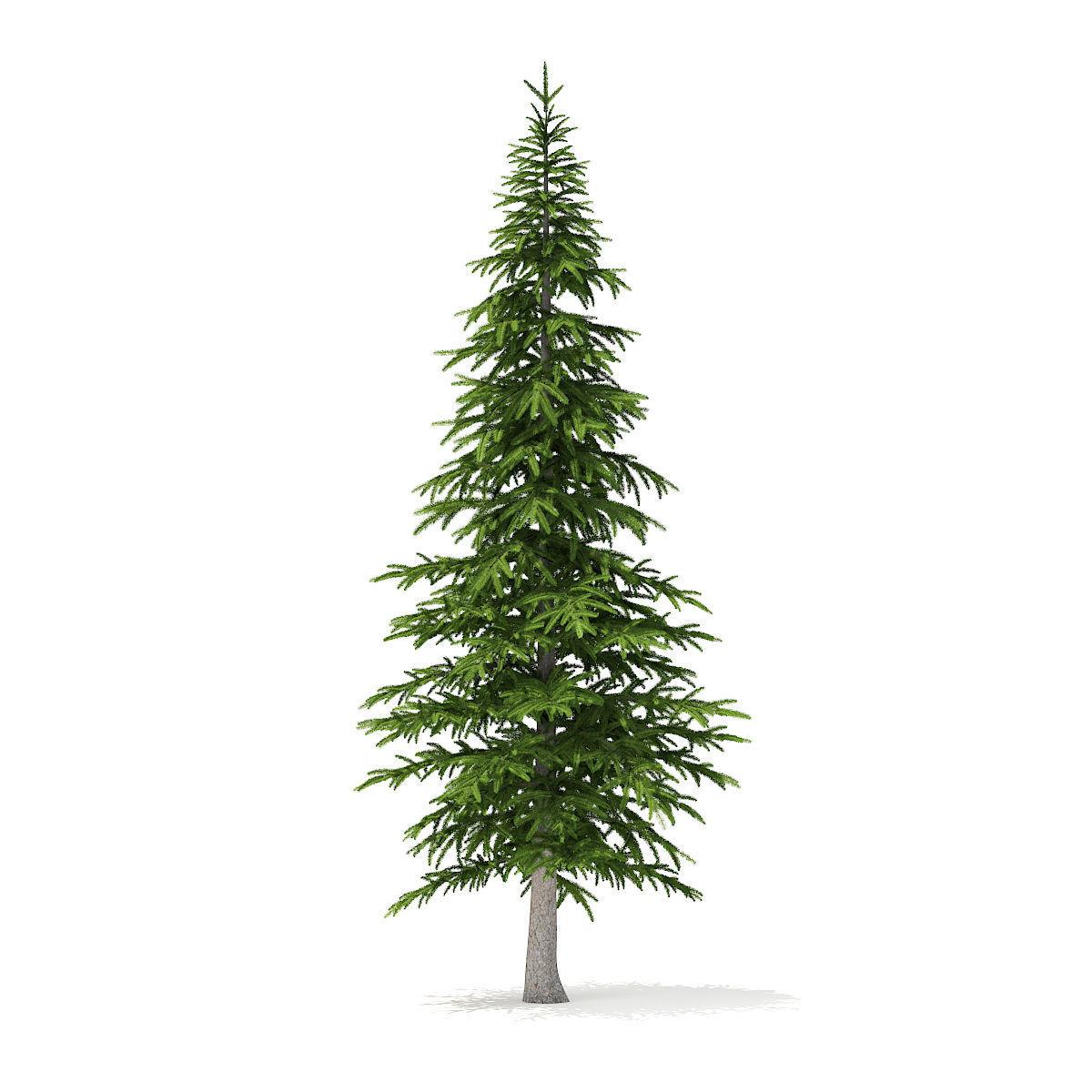 Fir Tree 4point5m