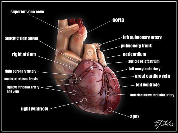 human heart std mat 3d model max mat 1