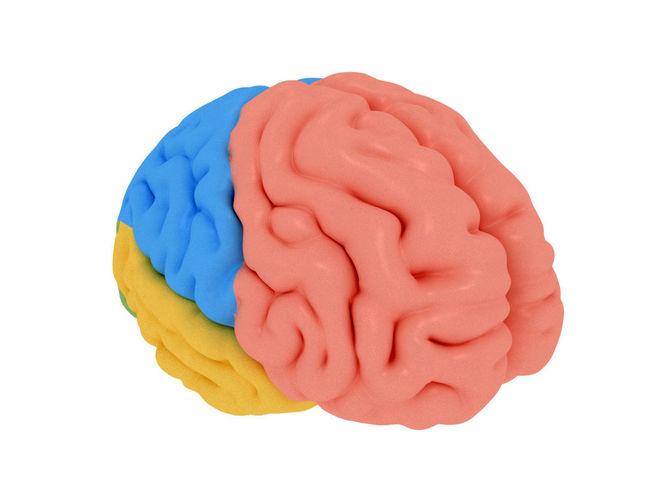 human brain cerebrum anatomy 3d model max obj mtl 3ds fbx stl 1