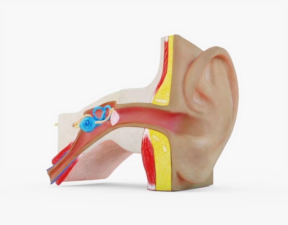 3D model Human Ear Anatomy   CGTrader