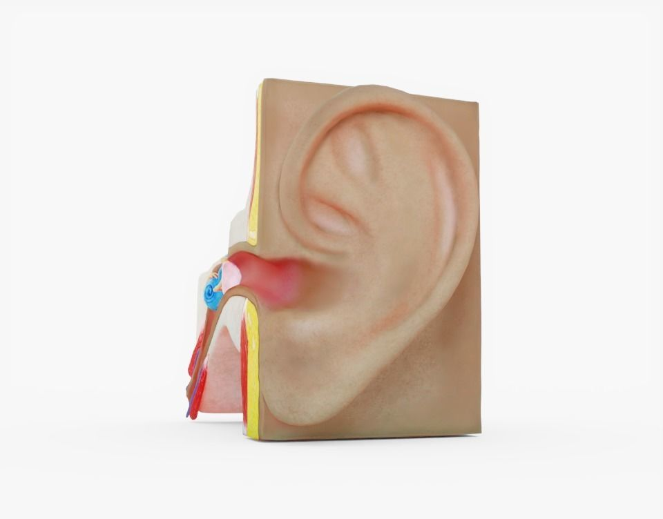 3D model Human Ear Anatomy | CGTrader