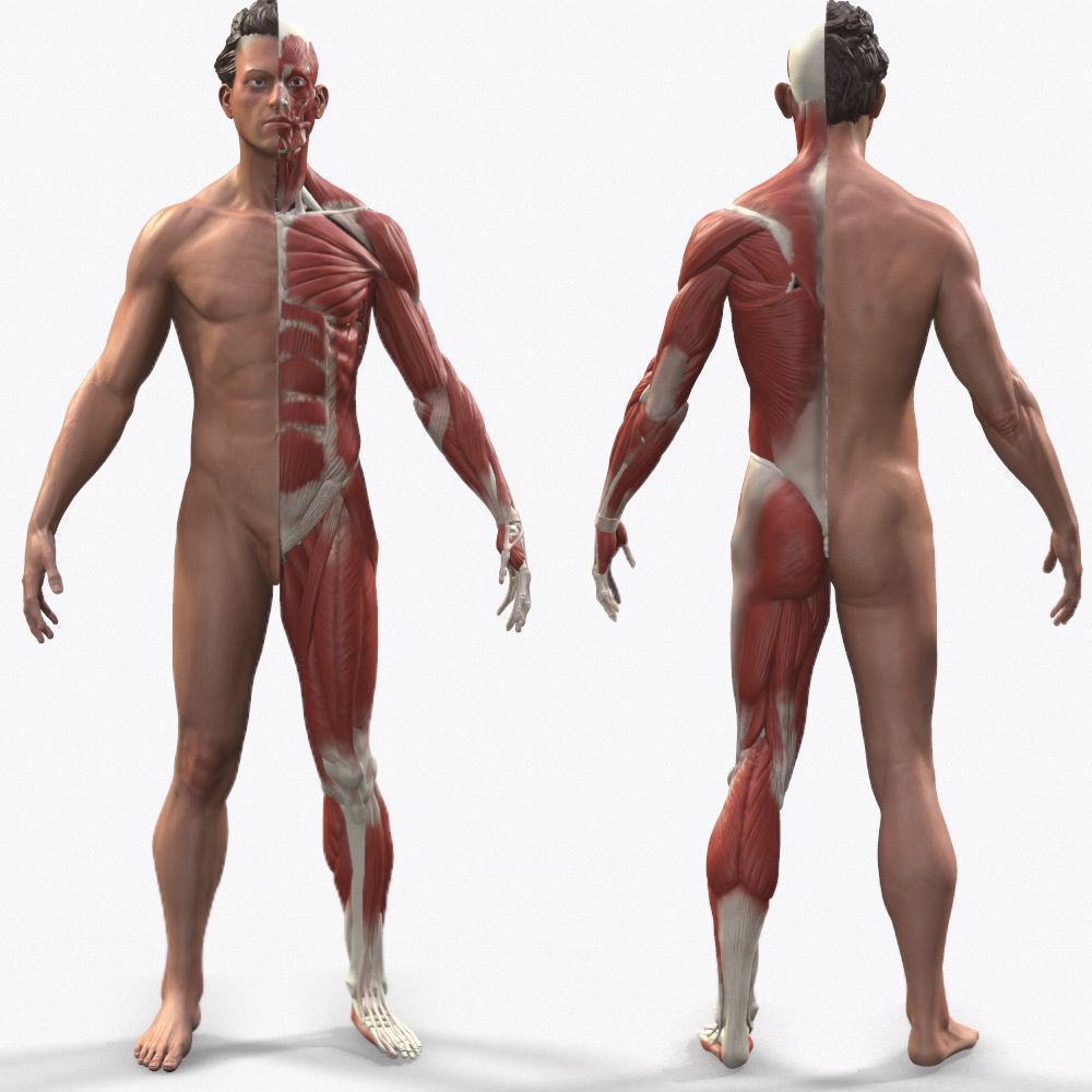 Ecorche Male Anatomical Reference | 3D model
