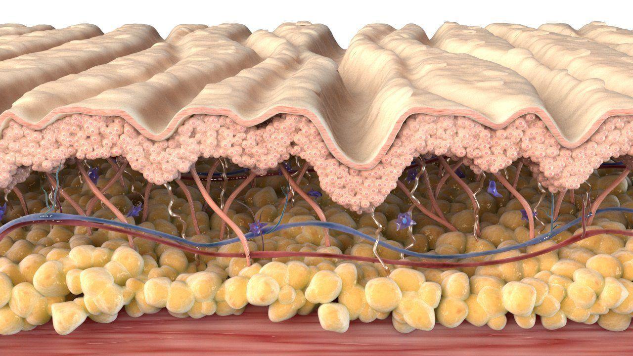 Skin Cross Section Wrinkled