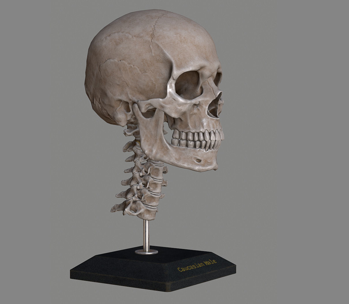 Human Skull Caucasian Male