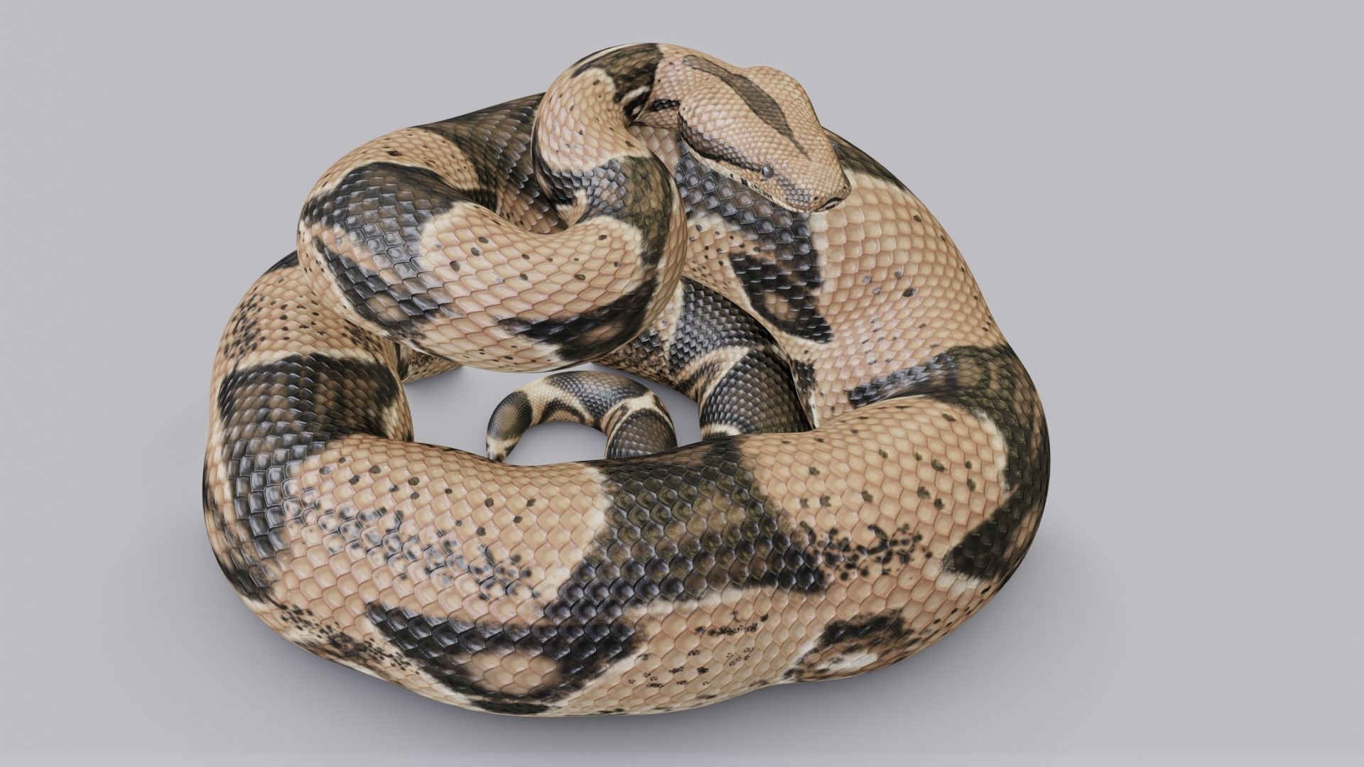 Rigged Boa Constrictor