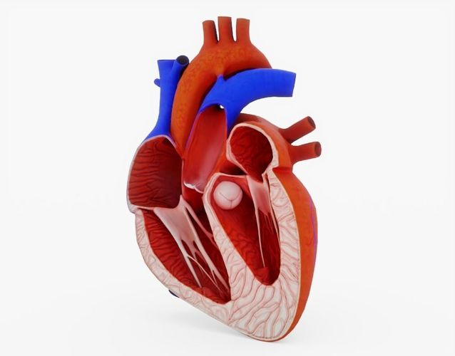 3d Asset Human Heart Cross Section Anatomy Cgtrader