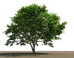 Philippine Native Bani Tree nature 3D