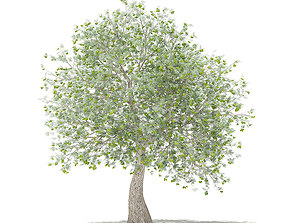 Olive Tree with Fruits 3D model