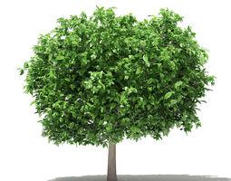 3D Pomelo Tree