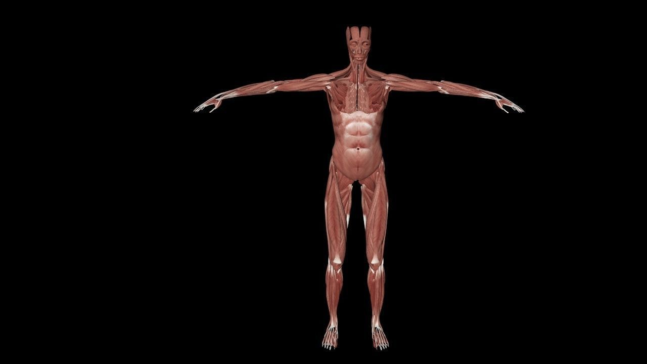 Low Poly Vr Ar Ready Female Human Anatomy With 3d Model 1