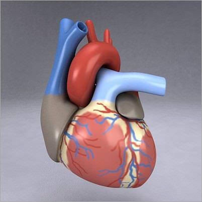 Human Heart 3D | CGTrader