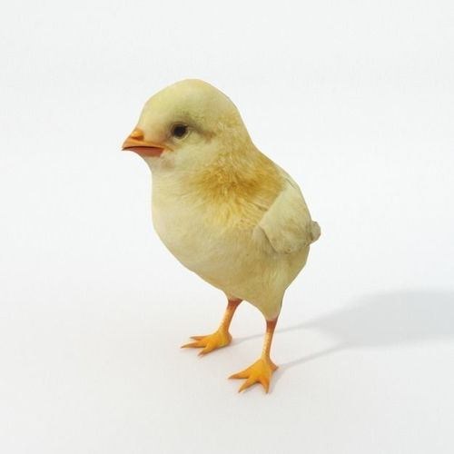 3d model game ready little chicken cgtrader