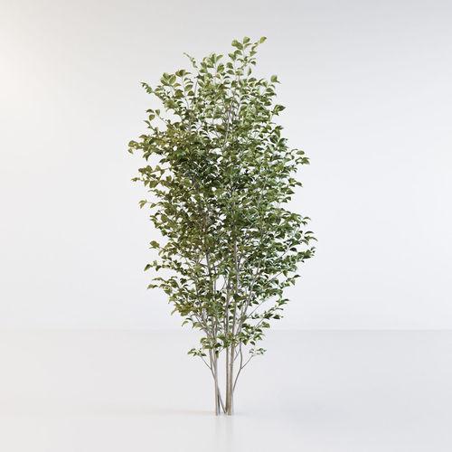 fraxinus griffithii tree 3d model obj mtl fbx c4d 1