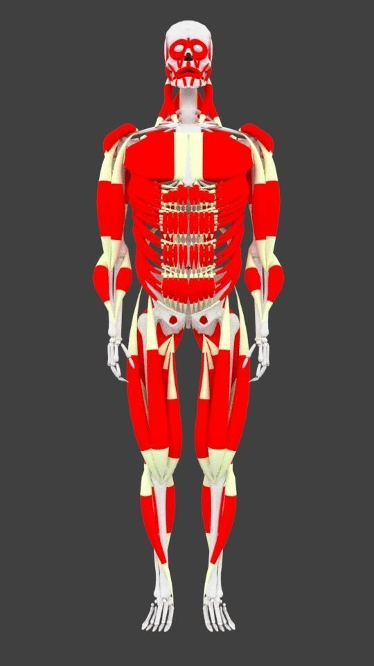 3d Asset Male Human Muscle System Cgtrader